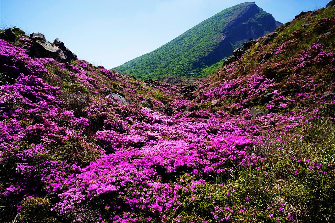 韓国岳 霧島えびの高原 ミヤマキリシマ